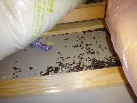 屋根裏 ネズミ 駆除